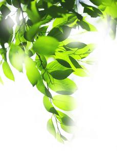 きらめく葉の写真素材 [FYI00073335]