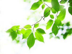 緑の葉の写真素材 [FYI00073336]