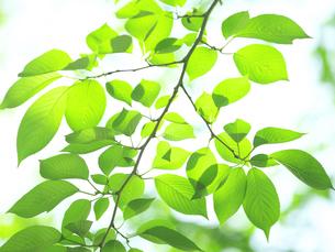 光の中の葉の写真素材 [FYI00073349]