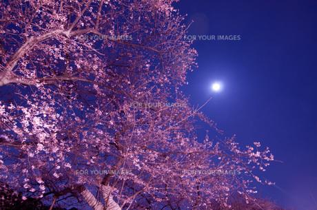 満月の夜桜の素材 [FYI00073359]