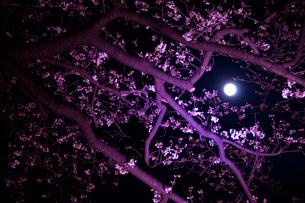 月と夜桜の素材 [FYI00073360]