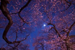 月と夜桜の素材 [FYI00073371]