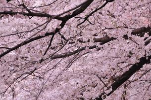 満開の桜の素材 [FYI00073401]