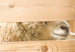 羊の写真素材 [FYI00073802]