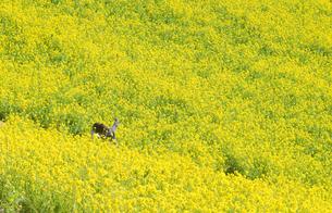 菜の花の写真素材 [FYI00073844]