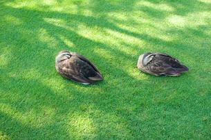 鴨の写真素材 [FYI00073850]