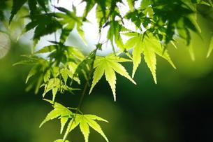 新緑の楓の写真素材 [FYI00075245]
