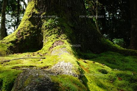 根元に生した苔と木漏れ日の素材 [FYI00075248]
