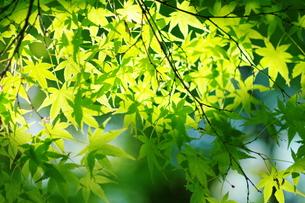 新緑の楓の写真素材 [FYI00075264]