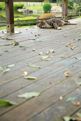 猫の昼寝の写真素材 [FYI00075293]