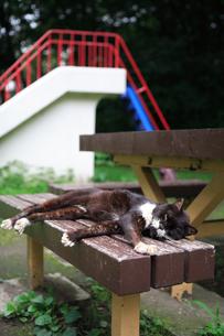 お昼寝の猫の写真素材 [FYI00075306]