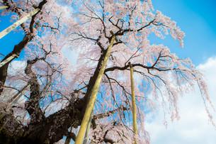 復興への桜の写真素材 [FYI00075308]