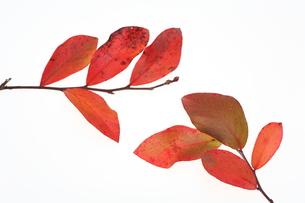 ブルーベリーの紅葉の写真素材 [FYI00076550]
