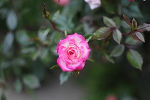 ピンクのバラの写真素材 [FYI00076593]