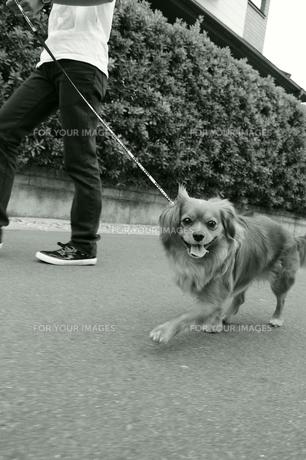 散歩する犬の写真素材 [FYI00076603]