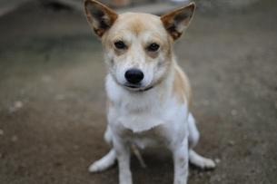お座りする犬の写真素材 [FYI00076611]