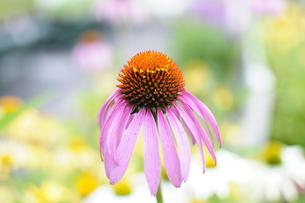 ピンクな花の写真素材 [FYI00076630]