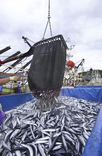 秋刀魚の水揚げの写真素材 [FYI00076737]