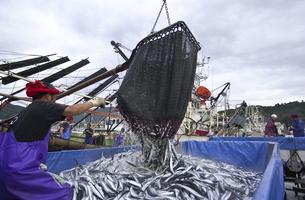サンマの水揚げの写真素材 [FYI00076742]
