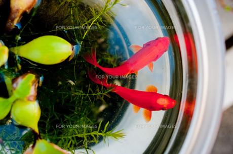 金魚鉢と金魚の写真素材 [FYI00078203]