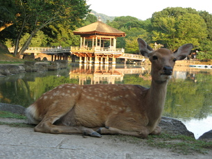 奈良公園の鹿の写真素材 [FYI00078219]