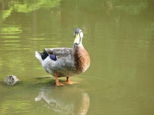鴨の写真素材 [FYI00078232]