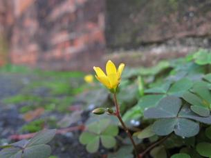 カタバミの花の写真素材 [FYI00078237]