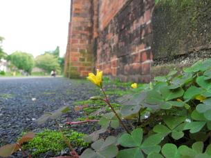 カタバミの花の写真素材 [FYI00078238]