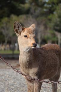 奈良公園の鹿の写真素材 [FYI00078244]