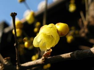 古寺の蝋梅の写真素材 [FYI00078313]
