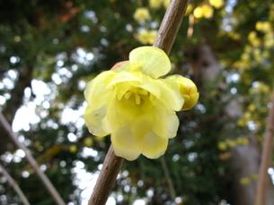 古寺の蝋梅の写真素材 [FYI00078321]