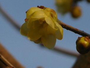 古寺の蝋梅の写真素材 [FYI00078327]