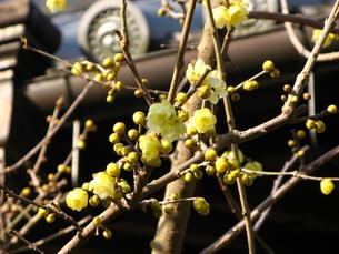 古寺の蝋梅の写真素材 [FYI00078332]