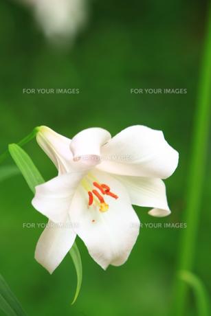 笹ユリの花の素材 [FYI00078464]