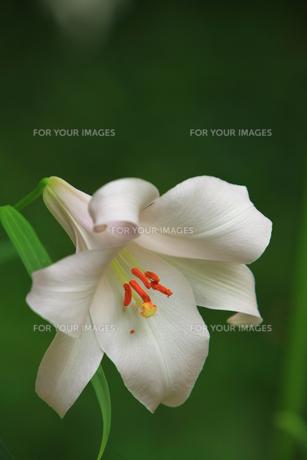 笹ユリの花の素材 [FYI00078467]