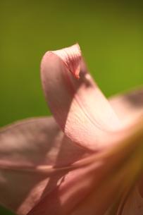 笹ユリの花の素材 [FYI00078468]