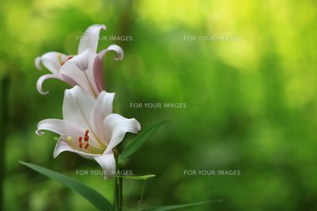 笹ユリの花の素材 [FYI00078482]