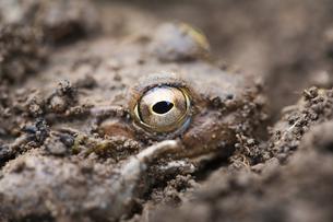 泥の中の目玉の写真素材 [FYI00080146]