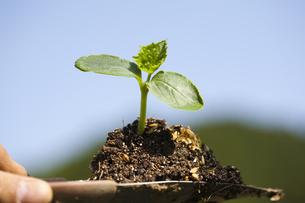 野菜苗の移植の写真素材 [FYI00080175]