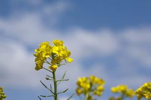 菜の花と春空の写真素材 [FYI00080196]