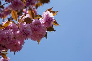 八重桜と青空の写真素材 [FYI00080204]