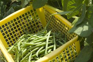 インゲン豆の収穫の写真素材 [FYI00080223]