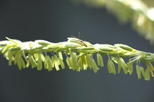 トウモロコシの雌花と羽虫の写真素材 [FYI00080224]