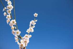 青空と梅の花_合成の写真素材 [FYI00080226]