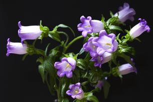 カンパニュラの花の写真素材 [FYI00080242]