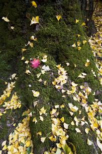 銀杏の古木と紅葉の葉の写真素材 [FYI00080250]