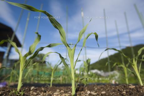 トウモロコシ苗の素材 [FYI00080271]