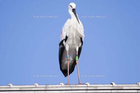 屋根の上のコウノトリの写真素材 [FYI00080283]