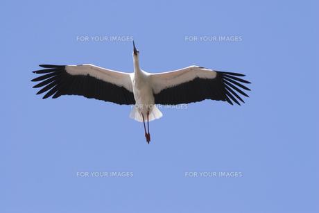 飛ぶコウノトリの写真素材 [FYI00080286]
