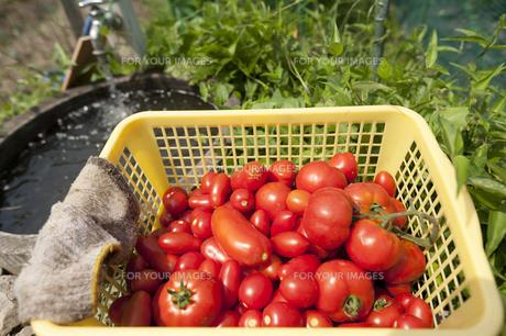 トマトの収穫いろいろの写真素材 [FYI00080299]